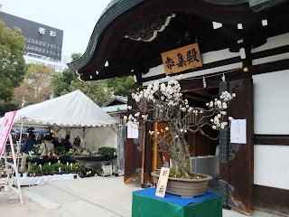 大阪天満宮の白梅の盆栽