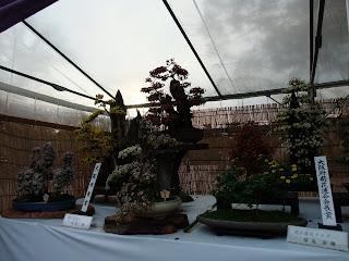 大阪城の菊花展の大きな菊盆栽