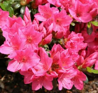 Piante creare giardini cura dei fiori consigli - Azalea foglie ...