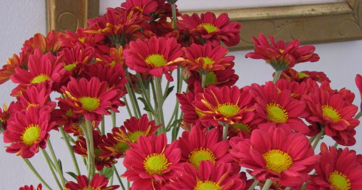 Silvestre flores a domicilio crisantemos maule for Plantas a domicilio santiago