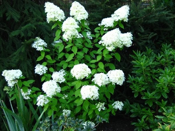 ewa in the garden hydrangea paniculata limelight. Black Bedroom Furniture Sets. Home Design Ideas