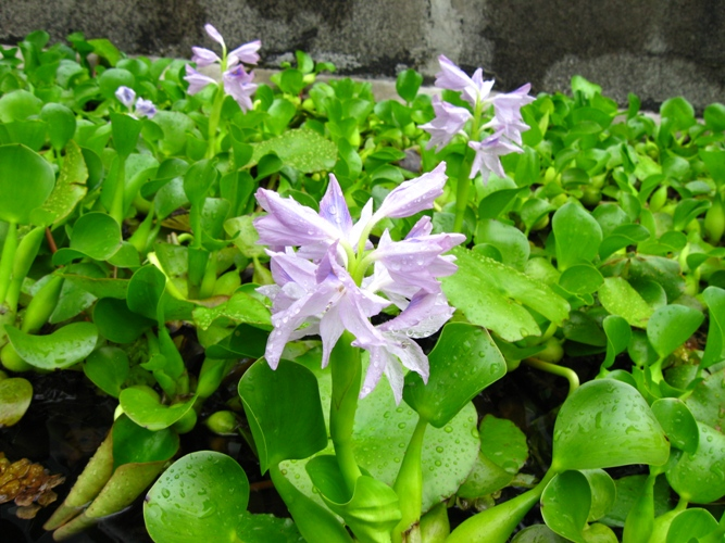 Ewa in the garden water hyacinth beautiful invasive and for Pond friendly plants