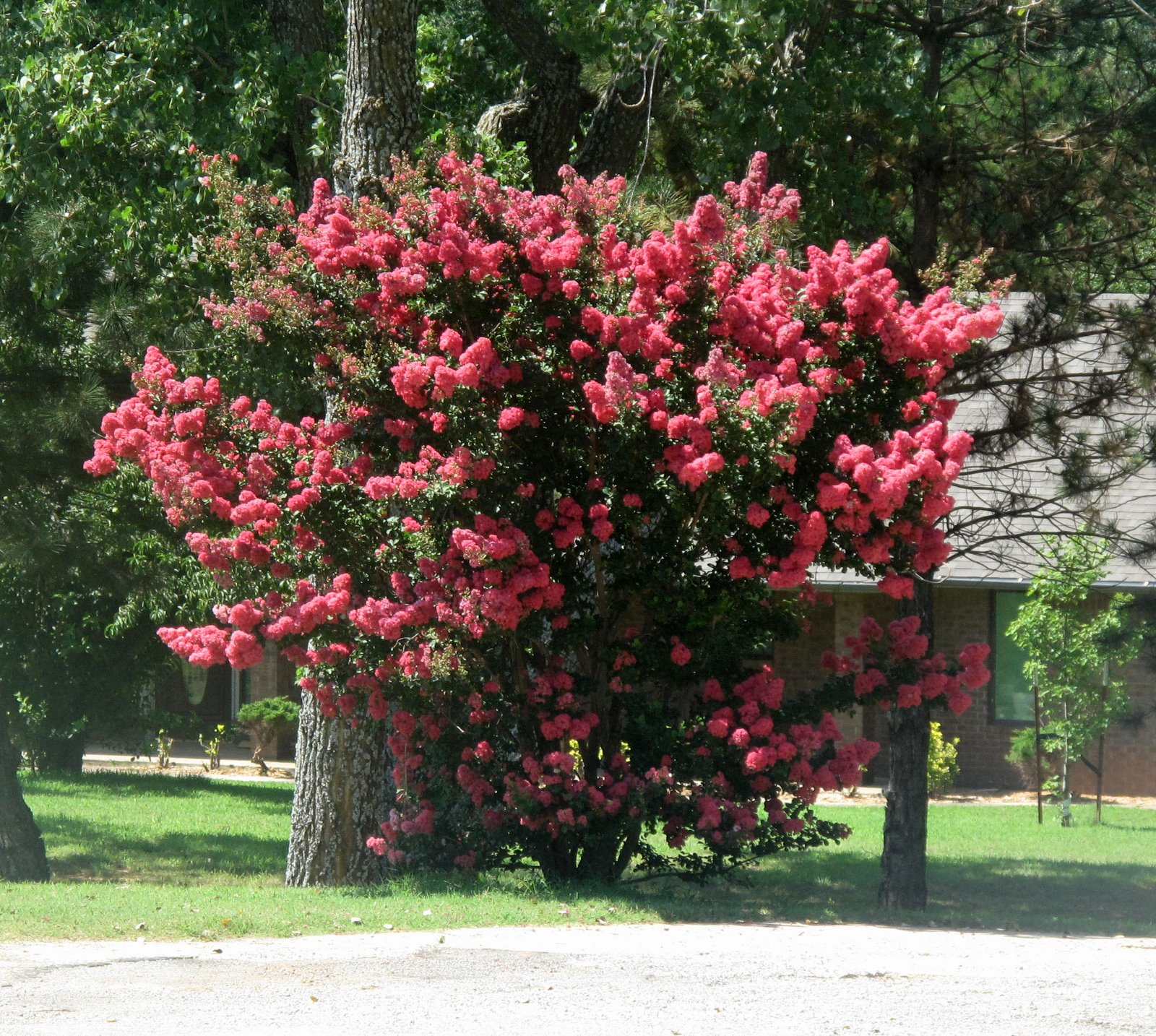 Pictures of crape myrtle Acoma White Crapemyrtle Tree - m