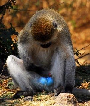 do monkeys have a penis