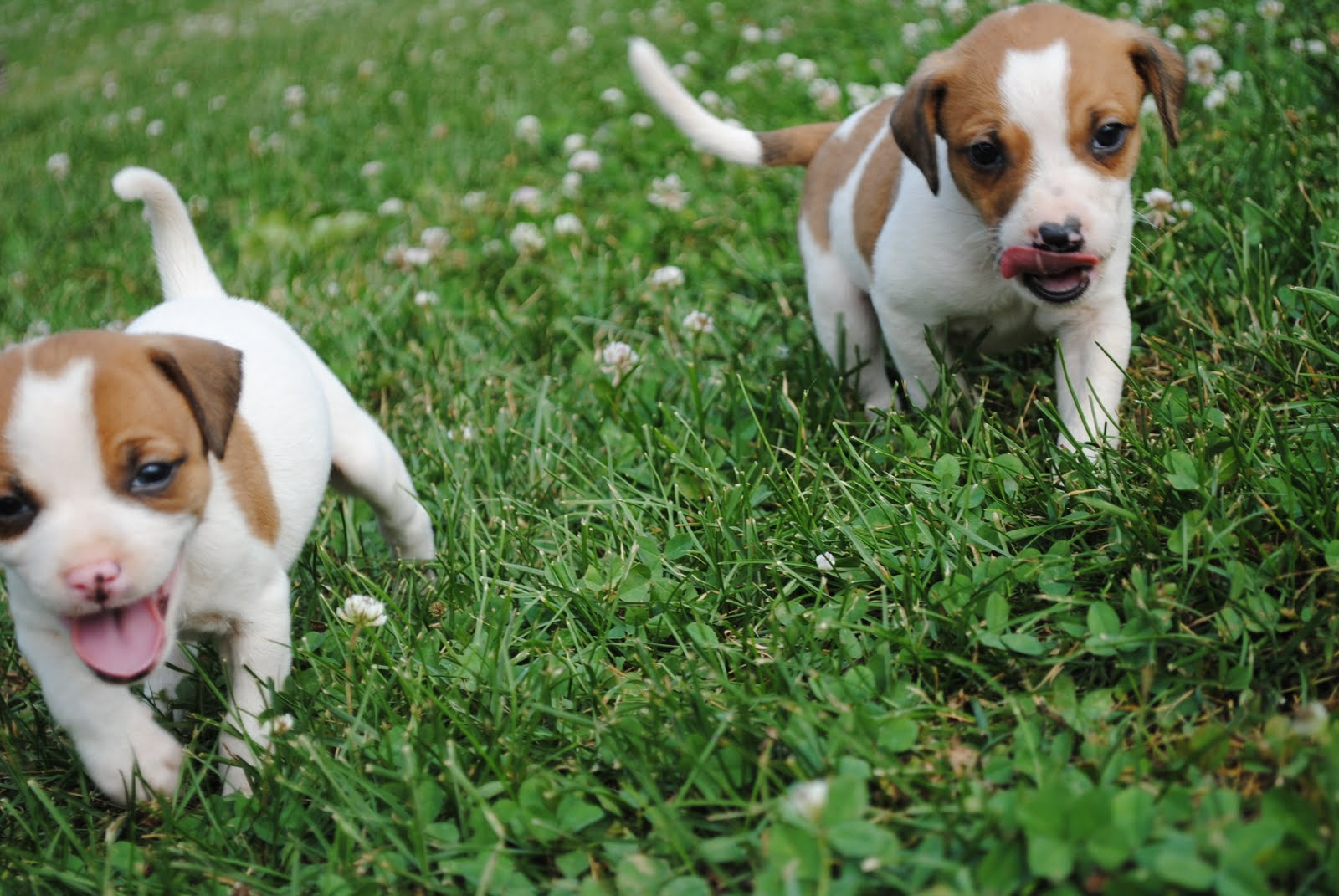 Mountain Feist Puppy | Dog Breeds Picture