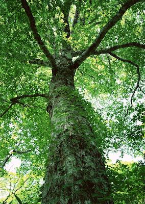 Tree Wallpaper Free