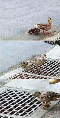 Pato burro demais
