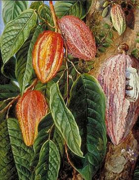 criollo theobroma cacao