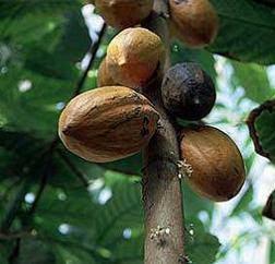 fotos theobroma cacao