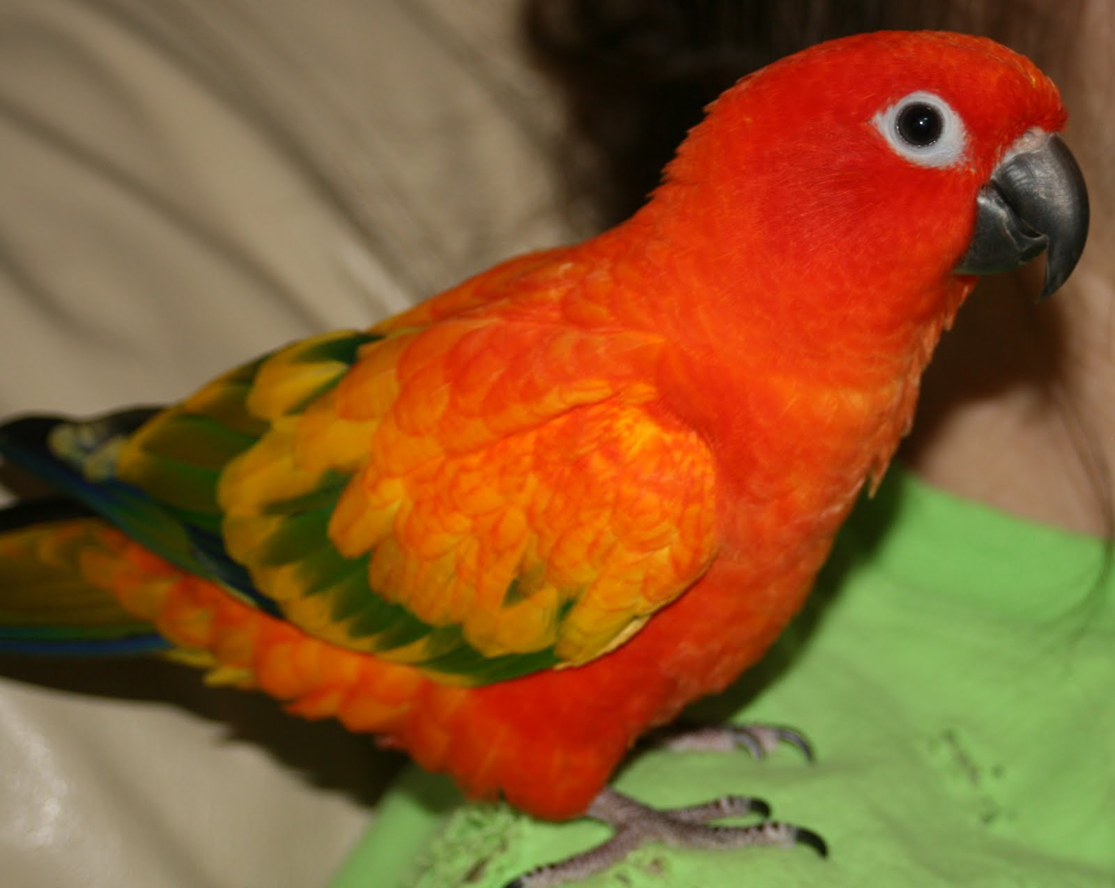Red Factor Sun Conures For Sale
