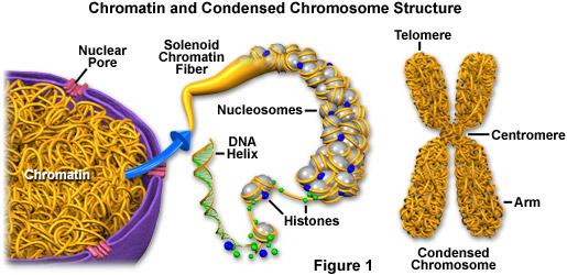 Substansi Genetika - SMA AL HIKMAH MUNCAR