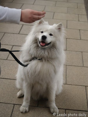 Mika Dog Samoyed Leeds