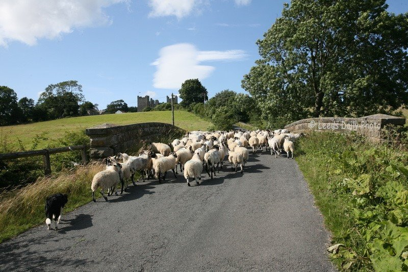 Sheep traffic Jam Yorkshire dales