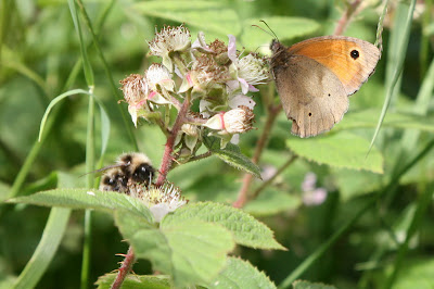 Meadow Brown Butterfly Yorkshire