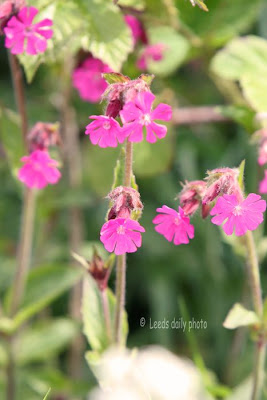 Campion Wildflower Yorkshire
