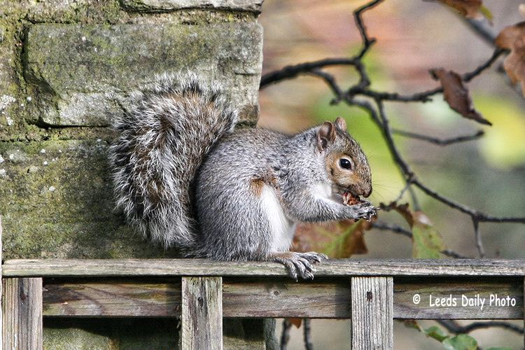 Gray Squirrel Yorkshire
