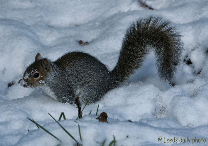 Gray Squirrel in Snow