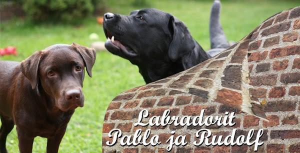 Labradoripojat Pablo ja Rudolf