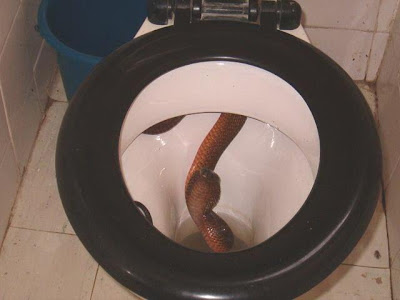 Meaning of picture : Snake in the toilet