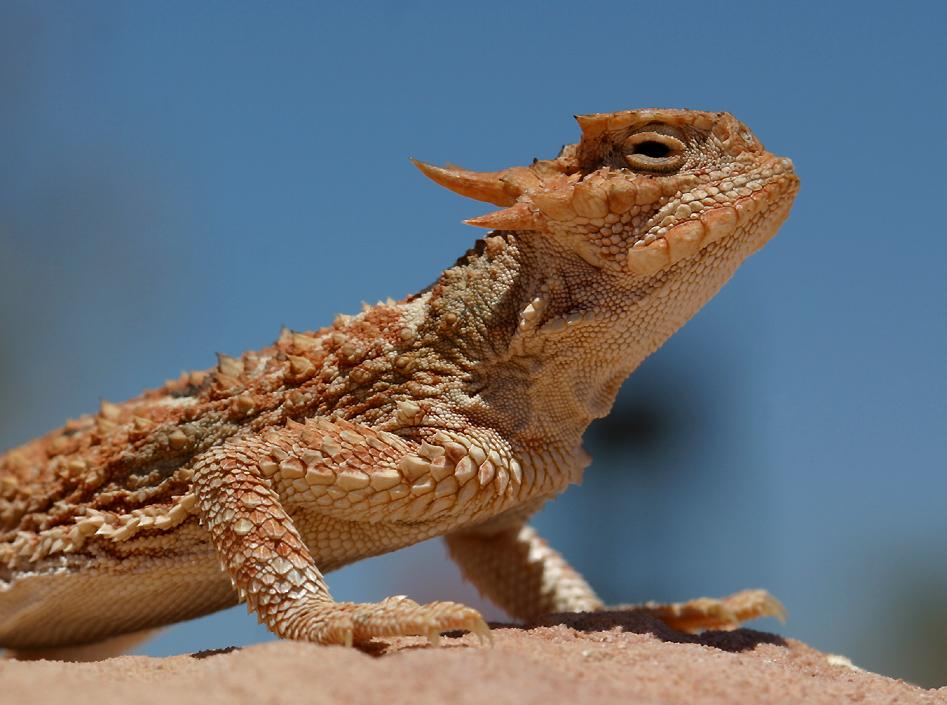 how the horned lizard got its horns? essay 2018-8-14 flying and gliding animals  and morphological adaptations that can sustain the animal aloft without flapping its  azhdarchid pterosaurs, got that.