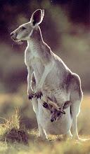 cangur,mamífer marssupial d'Austràlia