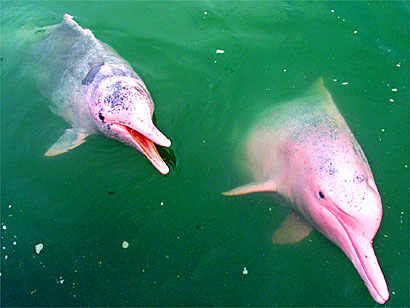 This is an Amazon River dolphin.