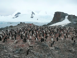 Chinstrap Penguin Colony, Livingston Island