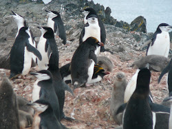 Rare Macaroni Penguins (Center), Hannah Point