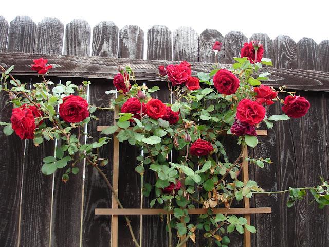 Плетистая роза джаз 3