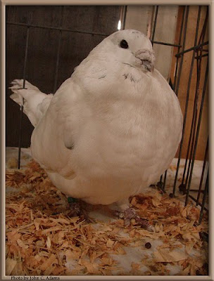 American Giant Homer Pigeon