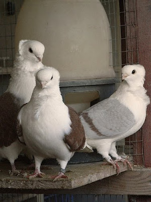 Doves For Sale >> Old German Owl Pigeon Pictures ~ ENCYCLOPEDIA OF PIGEON BREEDS