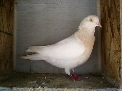 Birmingham Roller Pigeon
