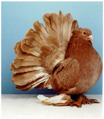 Brown Fantail Pigeon