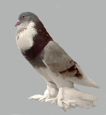 Ghent Cropper Pigeon