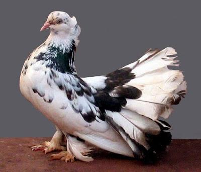 white pigeons doves