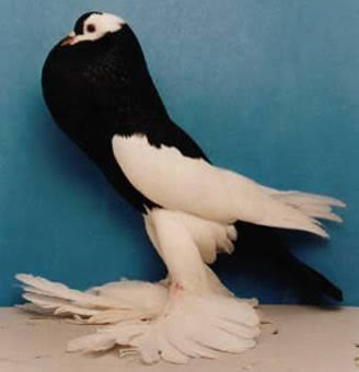 Reversewing Pouter Pigeon Pictures ~ ENCYCLOPEDIA OF PIGEON BREEDS
