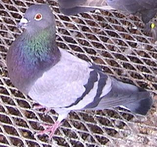 Deportivo Pouter Pigeon