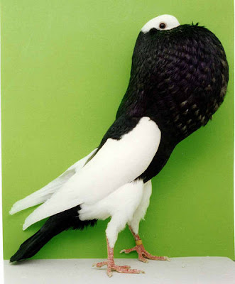 Elster Pouter Pigeon