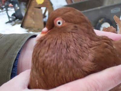 Steiger Pouter Pigeon