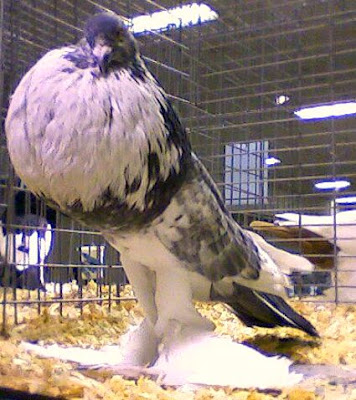 Pomeranian Pouter Pigeon