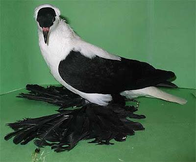Saxon Swallow Pigeon