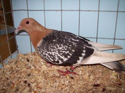 Nuremberg Lark Pigeon