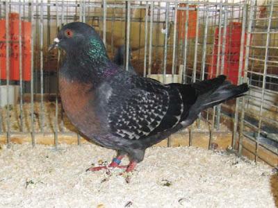 South German Charcoal Lark Pigeon