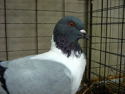 Florentine Pigeon