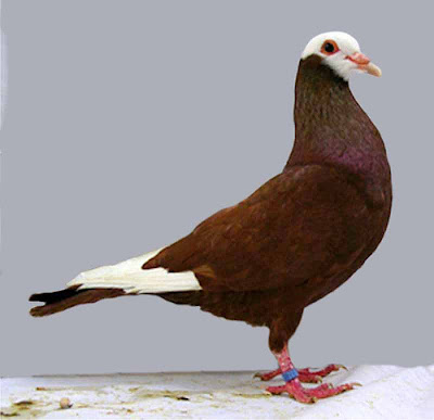Gier Pigeon