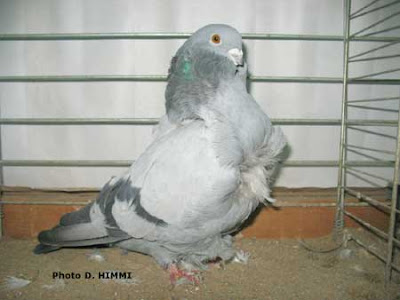 Chinese Blue Pigeon