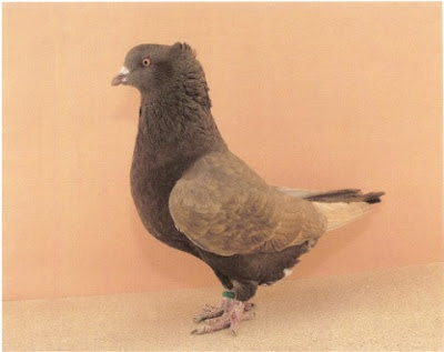 Giant American Crest Pigeon