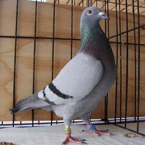 Van Loon - Racing Pigeon