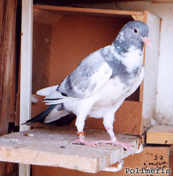 Wuta (Vouta) Pigeon