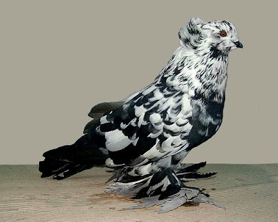 Hungarian Giant House Pigeon